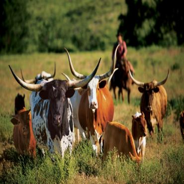 Long Horn Cattle