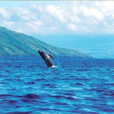 Maui Whales