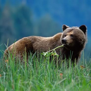 BC Bear .jpg