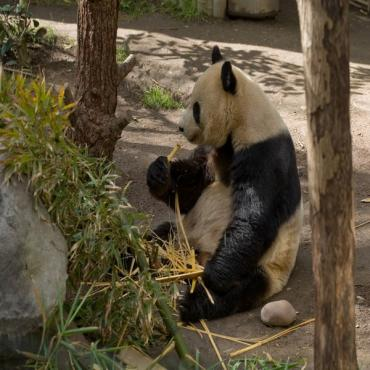 Panda Bear San Diego Zoo
