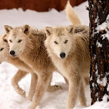 Bearizona Arctic Wolves.jpg