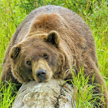 Alaska Bear_AWCC-_Wayde_Carroll.jpg