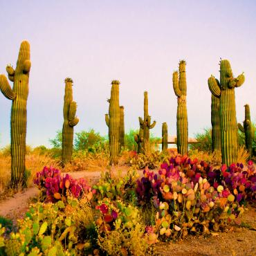 AZ Saguaros_at_Sunrise.jpg