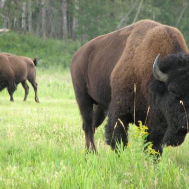 AB Elk Island NP bison