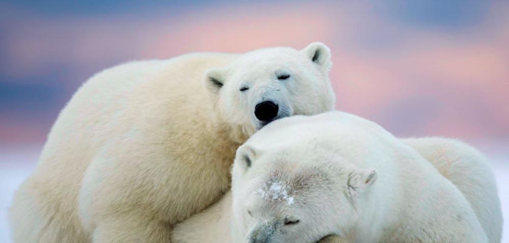 Manitoba polar bears
