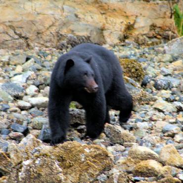 Black bear Tofino,_Vancouver_Island,_BC