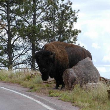 Buffalo at road side