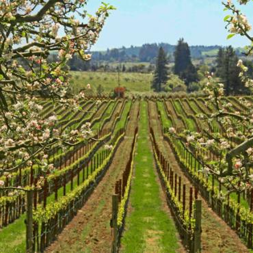 CA scenic_vineyards_spring_Sonoma_County