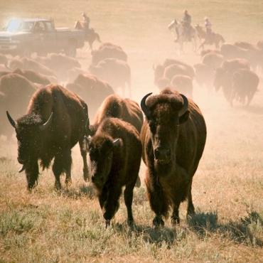 Bisson herd