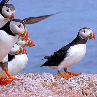 NS puffins