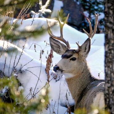 WY Yellowstone winter deer