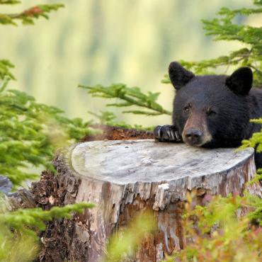 Istock Canada bear medium