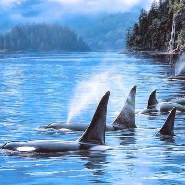 BC Pod of ocra whales