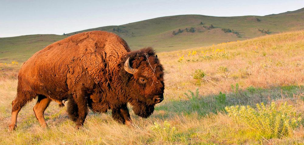 Montana Missoula bison