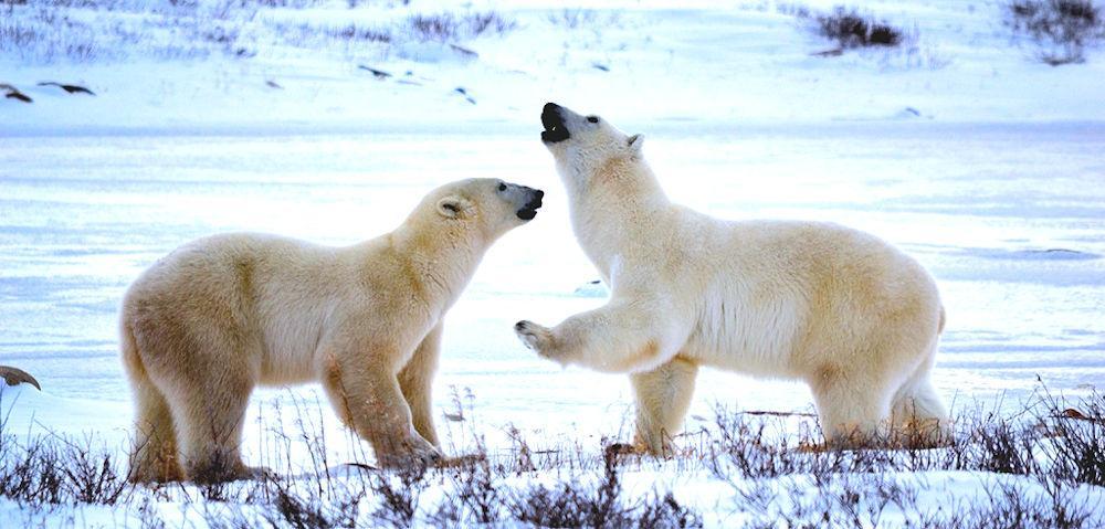 Main Page Polar Bears