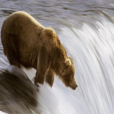 Bear in river AL
