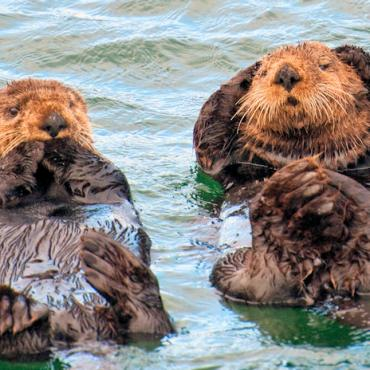 Sea Otters © State of Alaska Mark Kelley