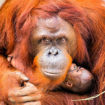 ZooTampa Orangutan_Baby