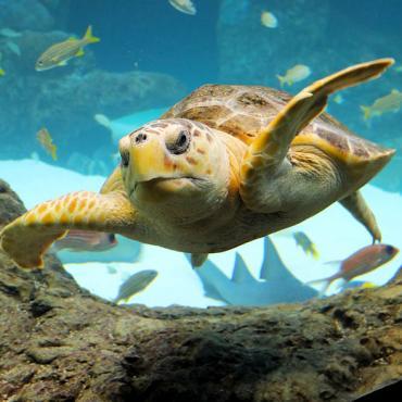 FL Aquarium Loggerhead turtle