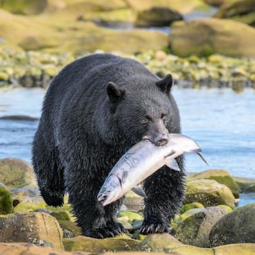 BC Wildlife Bear Destination BC Blake Jorgenson2
