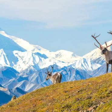 AK Mount McKinley & Caribou