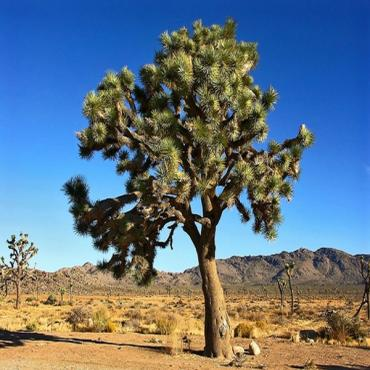 Joshua Tree PSP