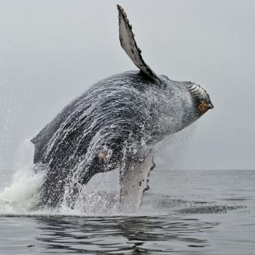 Whale breaching CA