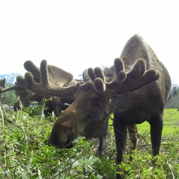 Moose AK