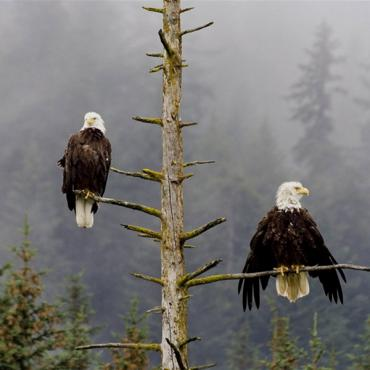 2 eagles in tree AK