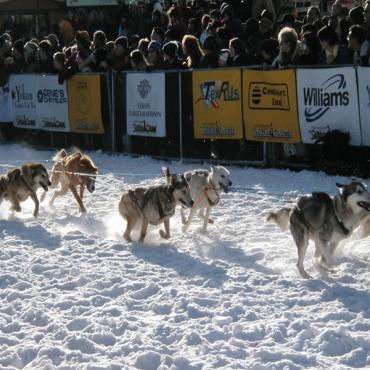 Yukon quest dogs AK