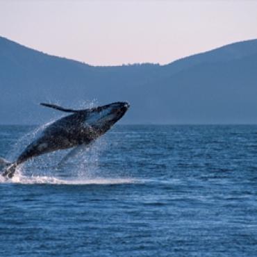 Gray whales tofino BC