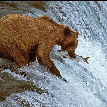 Alaska bear Katmai