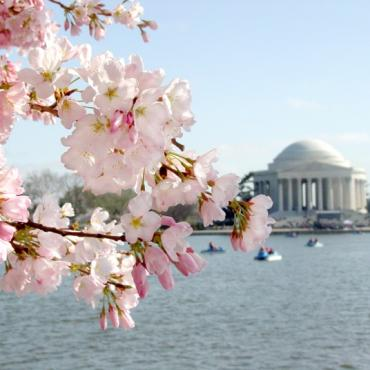Jefferson Memorial DC with cherry blossom