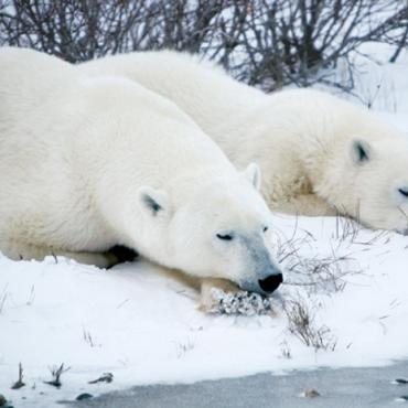 Manitoba Churchill polar bears