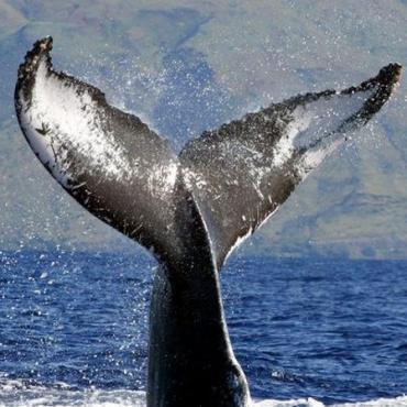 HI Whale tail