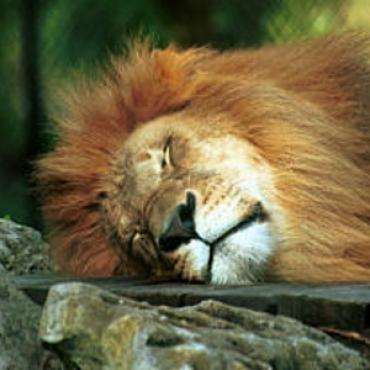 Naples zoo sleeping lion