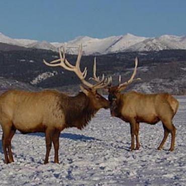 WY Jackson Hole elk