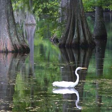 LA Egret in swamp.jpg