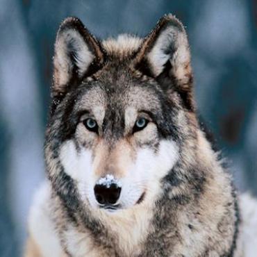 Yellowstone wolf.jpg