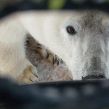 Manitoba polar bear2.jpg