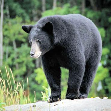 Maine Black Bear.jpg