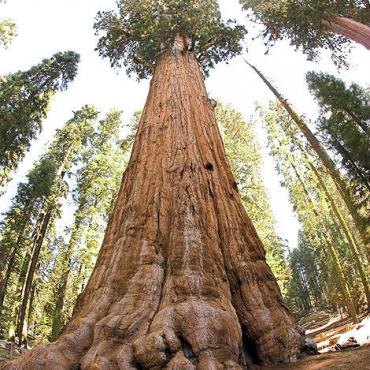CA General Sherman Tree.jpg