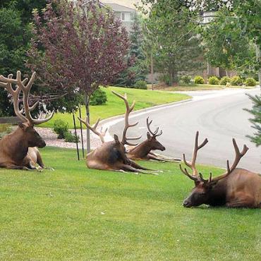 MT Helena Elk.jpg