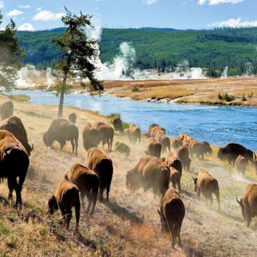 TRAFLGR Yellowstone buffalo.jpg