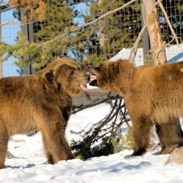 MT Grizzly Discovery Center Grizzlies.JPG