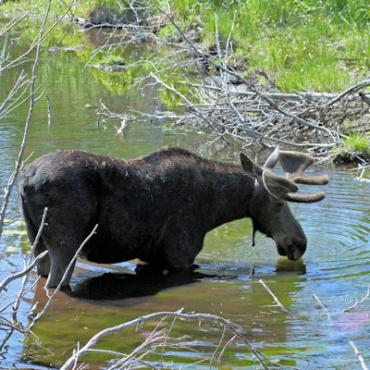 WY Grand Teton moose.jpg