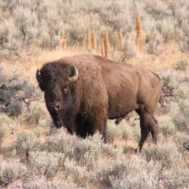 WY Yellowstone Bison (4).jpg