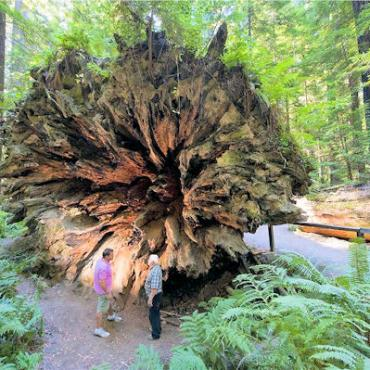 CA NOrth Coast Humboldts redwood.jpg